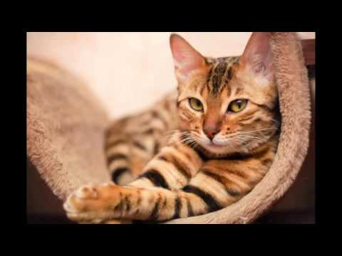 most beautiful cats / kedi cinsleri - bengal / cat breeds - bengal