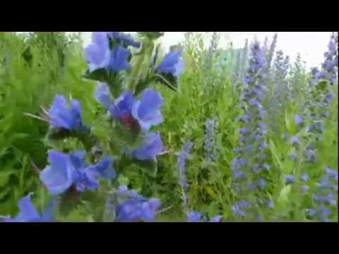 Как цветет синяк