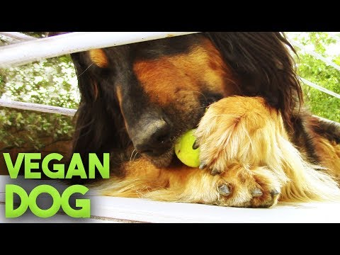 VEGAN DOG│Cute Hovawart Video