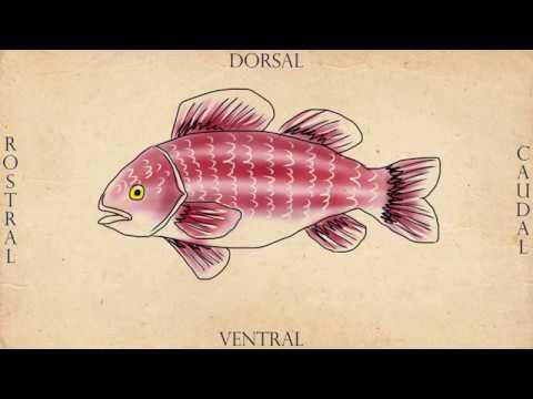 Anatomy Dinner】Fish Anatomy | Sashimi - YouTube
