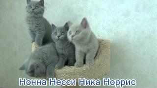 Британские котята из питомника Kent Start