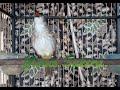 Trucukan Gacor Full Isian Berbagai Macam Suara Burung Ys  Mp3 - Mp4 Download