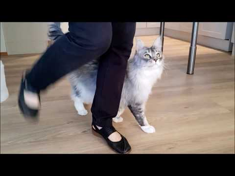 Maine Coon cat Felix showing some skills. 8 tricks, and finally plays a ball game.