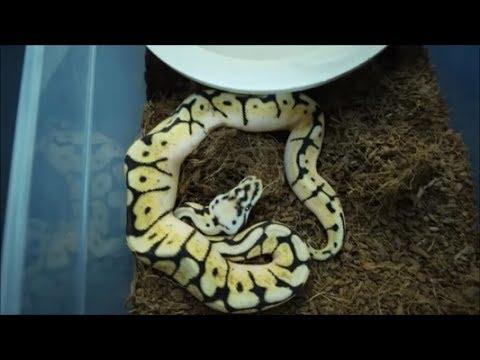 feeding baby ball pythons, we will miss you Ben Renick.