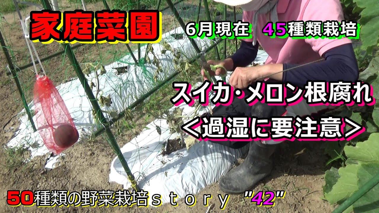 【家庭菜園】6月の野菜の様子!スイカ・メロン過湿で根腐れ<水のやり過ぎに要注意>