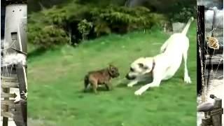 Собачьи бои Английский бульдог щенок против дог щенка