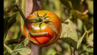 Почему трескаются томаты, и как этого избежать?