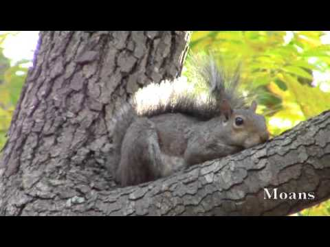 Eastern Gray Squirrel Alarm Calls