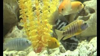Рыбки. Аквариумистика. Цихлиды
