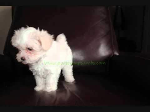 Tiny Teacup Maltese Pu...