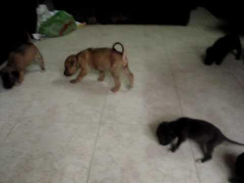 con chó Phú Quốc nhỏ của Hồ Tĩnh Tâm