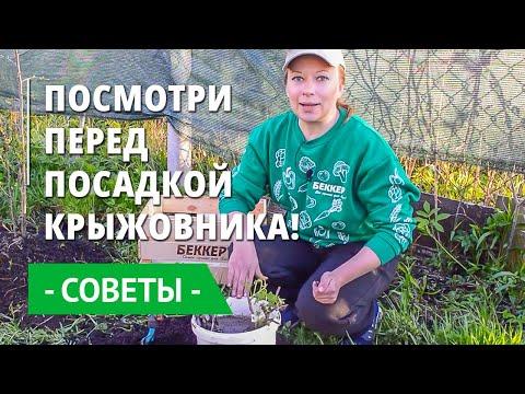 Крыжовник: Как правильно посадить, особенности посадки крыжовника. Удобрения и уход