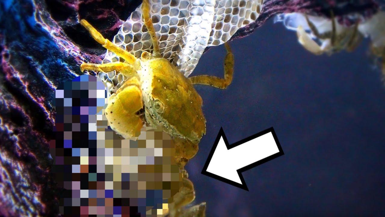 ヘビさえも食べてしまうカニの食欲がスゴイ…