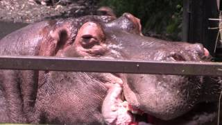 一口で!カバのスイカまるごとタイム Hippo's watermelon time in Nagasaki Biopark thumbnail