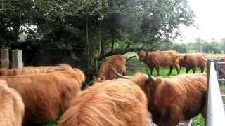 Succesfully moving Highland Cattle into the new field
