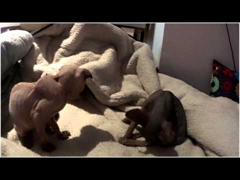 GIZÉ . CANADIAN SPHYNX VS RAMSÉS UKRAINIAN LEVKOY . FUNNY KITTEN FIGHT