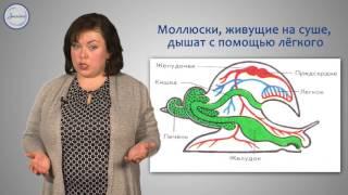 Биология 7 класс. Тип Моллюски.  Общая характеристика типа