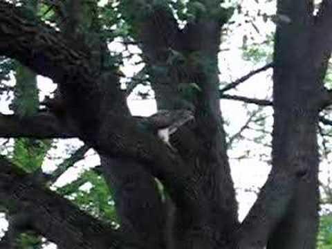 Redtail Hawk In a tree