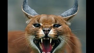 il caracal animal hd