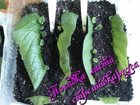 Как размножить листом стрептокарпус