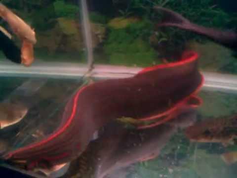 ken nhi: Cá hỏa long. Cá hồng vĩ mỏ vịt. Cá mỏ vịt da báo