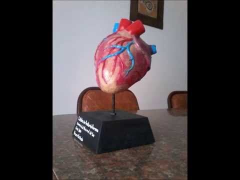 Maqueta Corazón Anatomía Humana Bruno Sassola Youtube