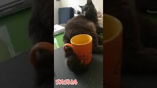 CAT TAIL   Blue Russian Cat   Funny Video