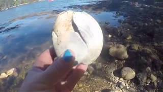 REAL CLAM FOUND &  BABY CRAB DEAD OR ALIVE..BOOTH BAY HARBOR MAINE  FOUND ON FUN HOUSE TV