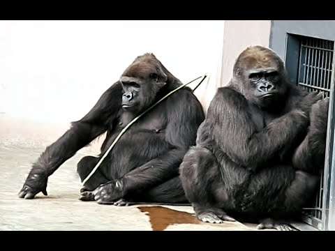 Zoo Gorillas planning for Escape.