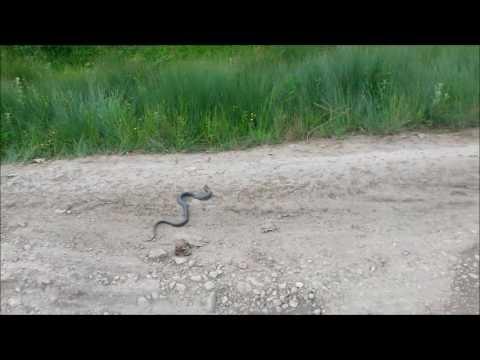 таксы ловят змей
