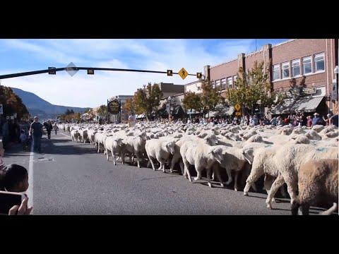 CEDAR CITY UTAH ANNUAL SHEEP RUN 2018!