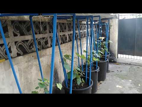 Growing Grapevines in containers - DIY grape trellis design