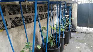 Growing Catawba and Red Cardinal grapevines in containers.