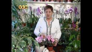 Цикламены из семян в домашних условиях: выращивание, уход за молодыми растениями, видео