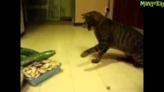 Кошки и огурцы!Приколы +от mangekaj