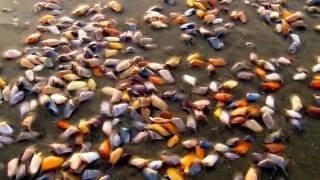 Surprisingly talented tiny coquina clams!
