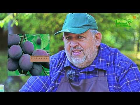 Почему опадают плоды со сливы?   удобрение   обработка   растений   плодовые   опадение   удачный   саженцы   огород   сливы   слив
