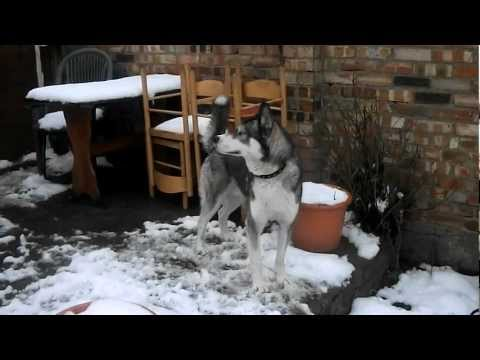 Can Siberian Husky be Trained to Guard?