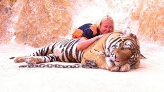 1  день из жизни Тигриного монастыря ( 1  day of  life of Tiger Temple)(Тигриный монастырь (Tiger Temple) прославился из-за своих почти ручных тигров. Но в целом, монастырь изначально..., 2016-03-08T19:32:45.000Z)