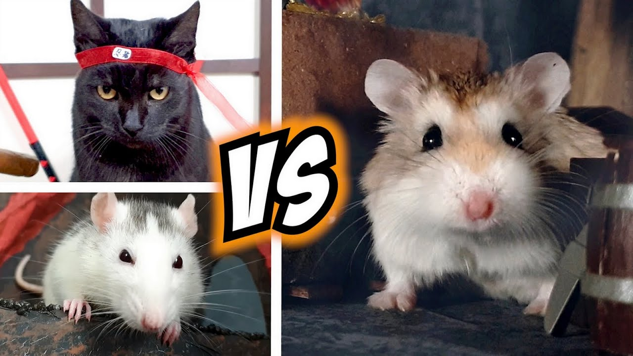 Download Epic HAMSTER vs EVIL CAT MOVIE with real life ANIMAL ACTORS 🐹😼