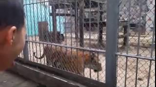 Chúa tể sơn lâm gầm thét trong cũi sắt- Hổ Đông Dương-Công viên Thủ Lệ- Indochina Tiger