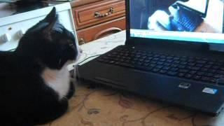 Муся смотрит видеоролик про себя и фильм для кошек/Musya's watching herself watching a film for cats