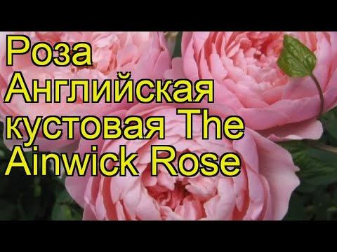 Роза английская кустовая зе Алнвик роз. Краткий обзор, описание характеристик, где купить саженцы