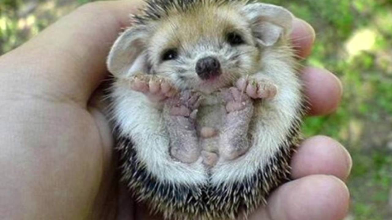 10 cool facts about hedgehogs - YouTube