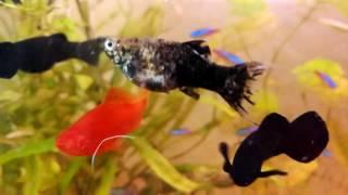 Аквариум родились рыбки моллинезия / Aquarium born fishes mollies