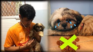 Basic Tips if your Shih Tzu don't want to Eat   #shihtzu #puppyLover