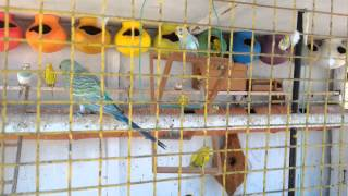 How to make a colour full love birds cage
