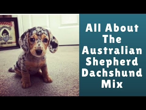 All About The Australian Shepherd Dachshund Mix