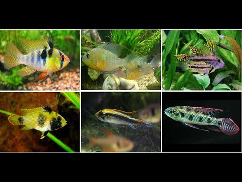 Beautiful Dwarf Cichlids Fish For Aquarium