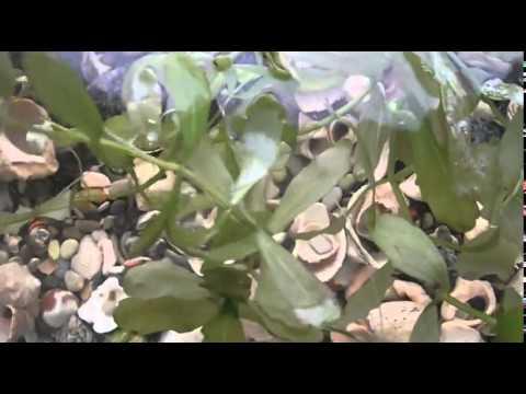 Мексиканский дубок Trichocoronis rivularis variegatus